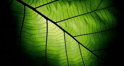 Leaf Quantum Biology