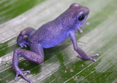 Purple-frogs