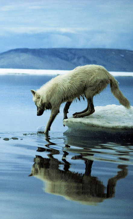 Wolf looking into Arctic, clean, healthy water